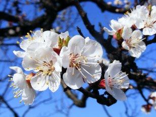 apricot_blossom_by_kicsimoja